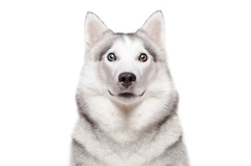 Portrait of a dog breed Siberian Husky with different color eyes isolated on white background
