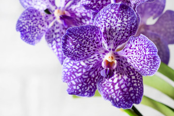 Tuinposter Orchidee Purple orchid wanda close up.Shallow depth of field, soft effect.