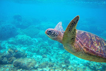 Sea turtle in blue water. Friendly marine turtle underwater photo. Oceanic animal in wild nature.