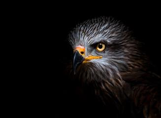 Canvas Prints Eagle black kite