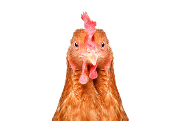 Portrait of a funny chicken, closeup, isolated on white background