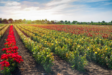 colorful fields with blooming roses in the sunset sun light in the summer outdoors..