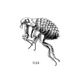 Hand drawn flea