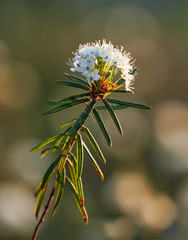 Closeup of marsh Labrador tea, Rhododendron tomentosum plant in the autumn sunlight. Selective focus, blurred background. Vertical image.