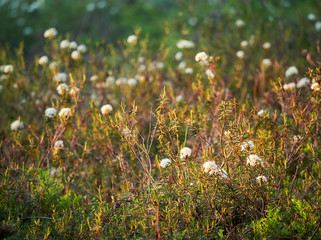 Marsh Labrador tea, Rhododendron tomentosum plant in the autumn sunlight. Selective focus, blurred background.