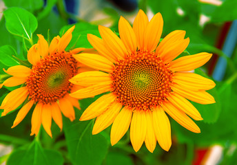 Yellow sunflower closeup photo. Summer meadow with yellow flowers. Open daisy flower background