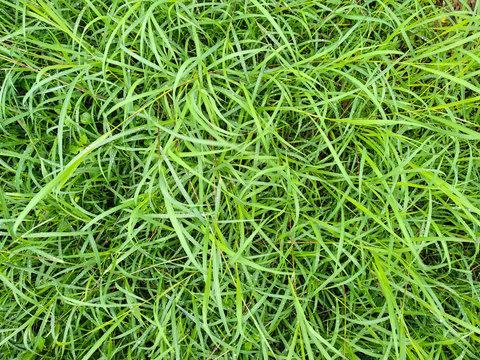 long green grass background, green hairy grass texture