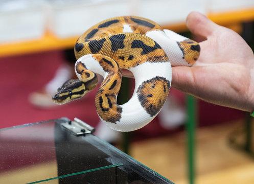 Orange Ghost Pied Ball Python on the hand