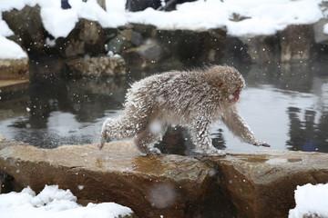 Japanese monkey in Jigokudani Monkey Park in Nagano Prefecture, Japan