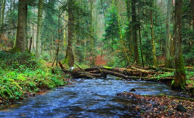 Small river in an autumn pine forest with brown fallen leaves. France Alsace