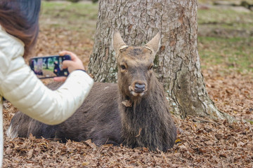 the tourist taking a photo with Japanese wild friendly cute deer at Nara national public park.