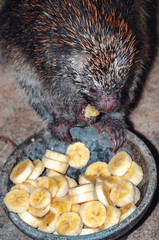 Close up on a hedgehog eating slices of banana on a bowl.