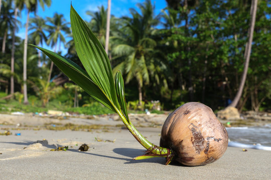 Coconut tree sprout washes up on the shore of a tropical beach in Koh Phangan Thailand. Coconuts (Cocos nucifera) are known for their versatility of uses, ranging from food to cosmetics.