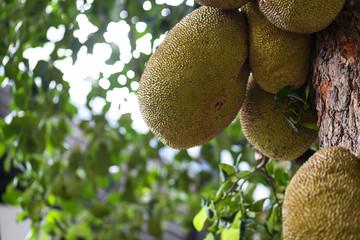Jack fruits on tree.