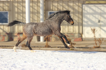 horse stallion breed american curly