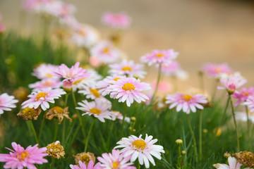 Pink daisy flowers in a garden.