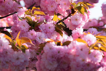 cherry blossom. beautiful natural background. tender pink flowers on the branch. wonderful sunny day in springtime