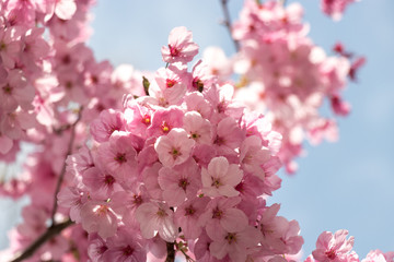 Cherry blossoms in central Tokyo, Nihonbashi, Chuo-city, Tokyo, Japan