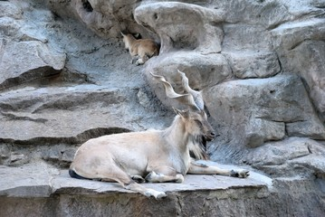 The markhor, also known as the screw horn goat (Capra falconeri)