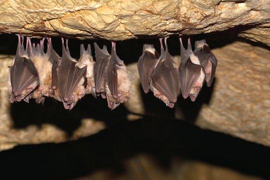 Groups of sleeping bats in cave - Lesser mouse-eared bat (Myotis blythii) and (Rhinolophus hipposideros) - Lesser Horseshoe Bat