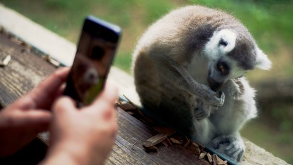 A man takes a photo of a lemur with his smartphone