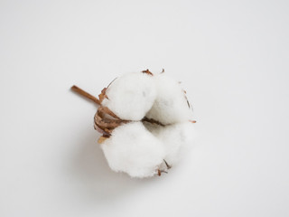 Cotton bud flower isolated.