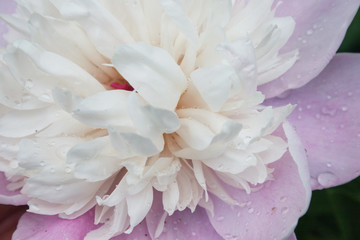 Peony flower Close-up with raindrops. Candid.