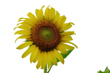 A single yellow sunflower with a green leaf on white isolated background