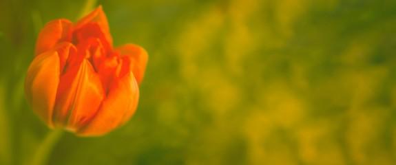 Tulpe vor gr眉n, Panorama, Freiraum