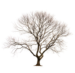 Isolated tree without leaves on white background.