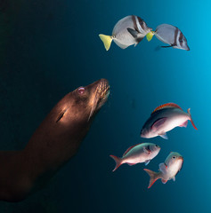 Galapagos Sea lion and group of fish in deep blue water.