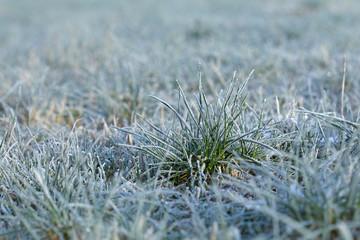 Grassbüschel in einer Wiese im Winter bei Frost