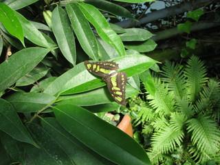 Papillon exotique vert et noir sur une feuille