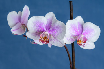 White Phalaenopsis orchid flowers with small pink dots, in full bloom on a dark blue simple background