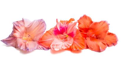 gladiolus flowers isolated