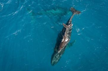 Humpbacks in Hawaii