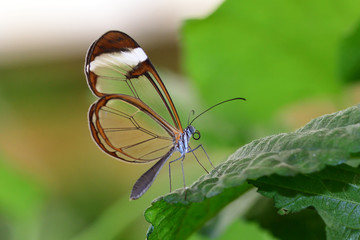Close up of a glasswing butterfly (greta oto) perching on a leaf