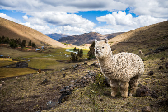 Alpaca in the mountains