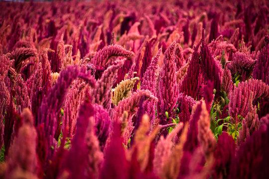 Close up of sorghum field