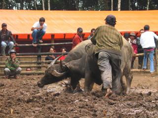Sumatra.  Minang Kabau Bullfighting. Indonesia