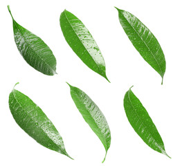 Composition of fresh mango leaves with water drops on white background, top view