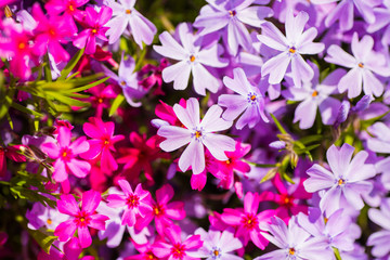 Close-up many pink and lilac awl phlox on sunny day.