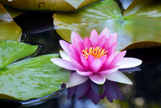 Pink water lillies bloom in a small pond showing reflections.