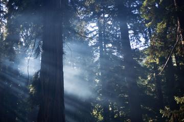 Redwoods Majestic