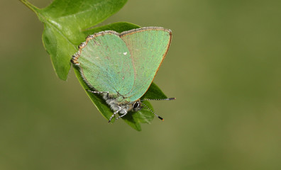 A stunning Green Hairstreak Butterfly (Callophrys rubi) perched on a Hawthorn tree leaf.