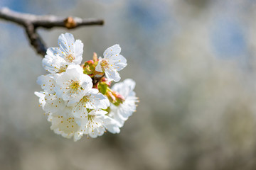 Close up of blooming cherry branches against the blue sky - selective focus, copy space