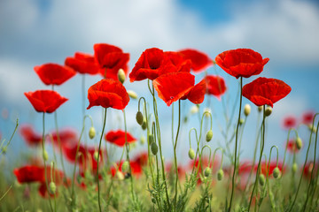 Photo sur Toile Poppy Flowers Red poppies blossom on wild field. Beautiful field red poppies with selective focus. soft light. Natural drugs. Glade of red poppies. Lonely poppy. Soft focus blur - Image