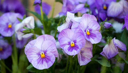 Poster Pansies close up of purple pansy flower growing in the spring garden - selective focus