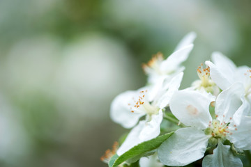 Spring blossom: branch of a blossoming apple tree on garden background - selective focus, space for text
