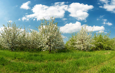 Blossoming apple garden in spring - copy space
